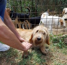 CILEX, Hund, Spinone Italiano-Mix in Italien - Bild 5