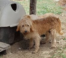 CILEX, Hund, Spinone Italiano-Mix in Italien - Bild 9