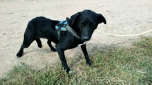 MANCI, Hund, Labrador-Mix in Neuss - Bild 2