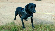 MANCI, Hund, Labrador-Mix in Neuss - Bild 3