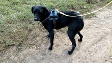 MANCI, Hund, Labrador-Mix in Neuss - Bild 5
