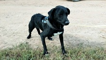 MANCI, Hund, Labrador-Mix in Neuss - Bild 7