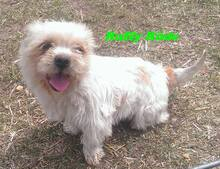 RUFFY, Hund, West Highland White Terrier-Mix in Ungarn - Bild 1