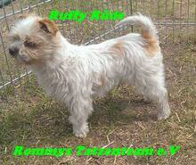 RUFFY, Hund, West Highland White Terrier-Mix in Ungarn - Bild 2