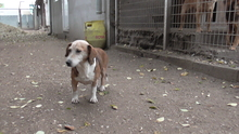 TANTI, Hund, Dackel-Mix in Ungarn - Bild 5