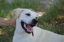 LISA, Hund, Labrador-Mix in Spanien - Bild 6