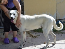 LISA, Hund, Labrador-Mix in Spanien - Bild 8