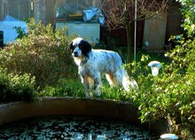 REMO, Hund, English Setter in Italien - Bild 2