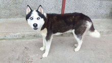 ALEX, Hund, Siberian Husky-Mix in Bulgarien - Bild 1