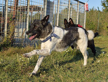 ROSKO, Hund, Border Collie-Mix in Bulgarien - Bild 2