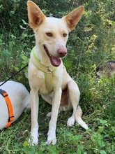 NEBRASKA, Hund, Podenco-Mix in Spanien - Bild 2