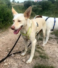 NEBRASKA, Hund, Podenco-Mix in Spanien - Bild 4
