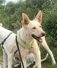 NEBRASKA, Hund, Podenco-Mix in Spanien - Bild 5