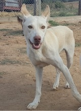 NEBRASKA, Hund, Podenco-Mix in Spanien - Bild 6