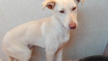 NEBRASKA, Hund, Podenco-Mix in Spanien - Bild 7