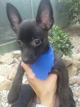 TOM, Hund, Chihuahua-Mix in Spanien - Bild 2