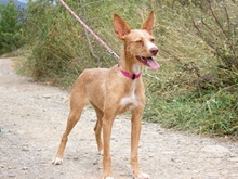 DOMINGA, Hund, Podenco Andaluz in Bad Oeynhausen - Bild 3