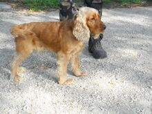 DUMBI, Hund, Cocker Spaniel in Ungarn - Bild 1