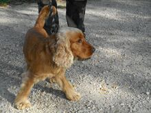 DUMBI, Hund, Cocker Spaniel in Ungarn - Bild 2