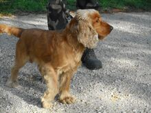 DUMBI, Hund, Cocker Spaniel in Ungarn - Bild 4