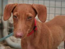 JAVI, Hund, Podenco-Mix in Spanien - Bild 1
