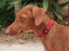 JAVI, Hund, Podenco-Mix in Spanien - Bild 2