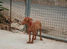 JAVI, Hund, Podenco-Mix in Spanien - Bild 3