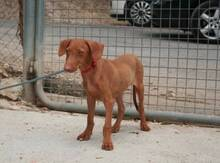 JAVI, Hund, Podenco-Mix in Spanien - Bild 4