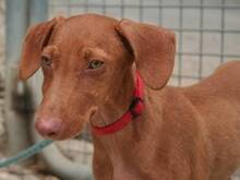 JAVI, Hund, Podenco-Mix in Spanien - Bild 5