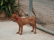 JAVI, Hund, Podenco-Mix in Spanien - Bild 6