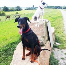 LEXI, Hund, Dobermann in Dinslaken - Bild 7