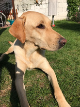 HOPE2, Hund, Labrador-Mix in Mettmann - Bild 5