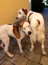 KLAUS, Hund, Pointer-Mix in Friedberg - Bild 6