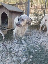 ZENO, Hund, English Setter in Italien - Bild 2