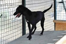 ASTRID, Hund, Pinscher-Mix in Italien - Bild 7