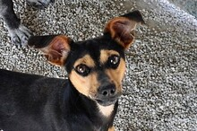 EWALD, Hund, Pinscher-Mix in Rieden - Bild 1