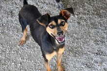 EWALD, Hund, Pinscher-Mix in Rieden - Bild 2