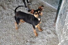 EWALD, Hund, Pinscher-Mix in Rieden - Bild 3