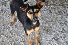 EWALD, Hund, Pinscher-Mix in Rieden - Bild 5