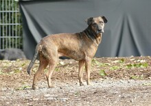 JOSEF, Hund, Boxer-Mix in Gefrees - Bild 2