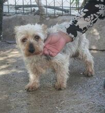 RAY, Hund, Yorkshire Terrier-Mix in Spanien - Bild 1