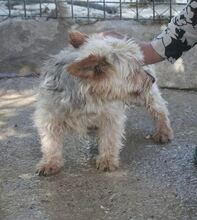 RAY, Hund, Yorkshire Terrier-Mix in Spanien - Bild 2