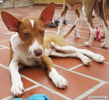 BILLYT, Hund, Podenco in Spanien - Bild 1