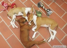 BILLYT, Hund, Podenco in Spanien - Bild 4