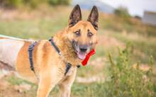 DOSS, Hund, Malinois-Mix in Slowakische Republik - Bild 1