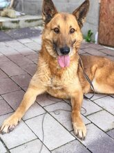 DOSS, Hund, Malinois-Mix in Slowakische Republik - Bild 11