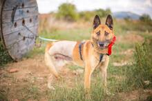 DOSS, Hund, Malinois-Mix in Slowakische Republik - Bild 2