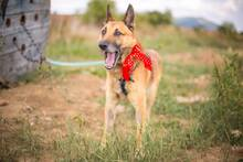 DOSS, Hund, Malinois-Mix in Slowakische Republik - Bild 4