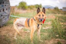 DOSS, Hund, Malinois-Mix in Slowakische Republik - Bild 8