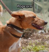 POPCORN, Hund, Podenco-Mix in Spanien - Bild 2